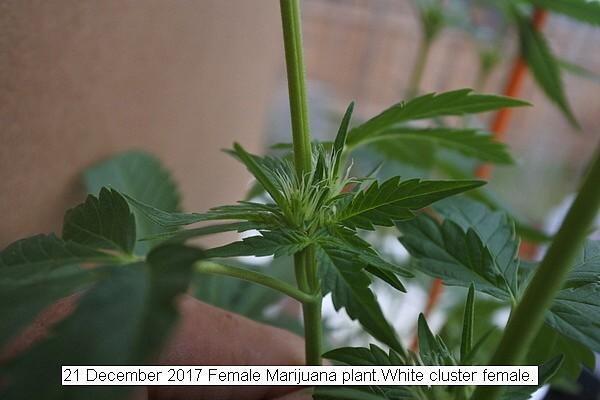 Female White Cluster